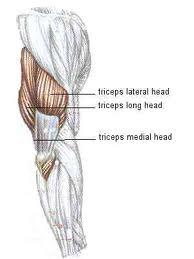 anatomia triceps