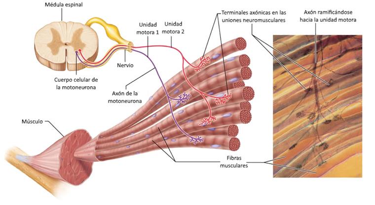 fibras musculares y unidades motoras